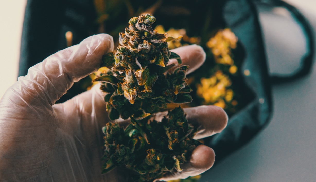 Hands of a Man Holding Cannabis Flower